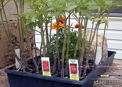 زراعة الطماطم باسهل الطرق بيدك في حديقة البيت