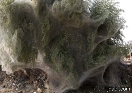 صور غريبه لنسيج العناكب على الاشجار- ظاهره غريبه حدثت الباكستان