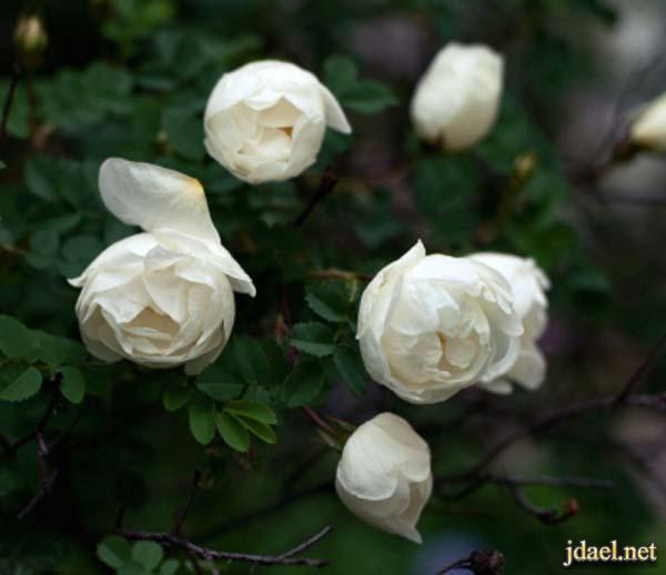 اروع صور الورد ورقة قطرات الندى والوان الباقات خيال
