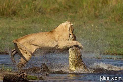 صور معركه شرسه بين لبوة وتمساح لحماية صغارها