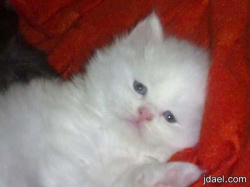 اروع الصور بحركات القطه الشقيه اجمل اللقطات لمجموعة صور للقطط