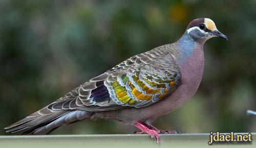 صور طيور اروع اشكال الحمام بروعة الالوان والاشكال