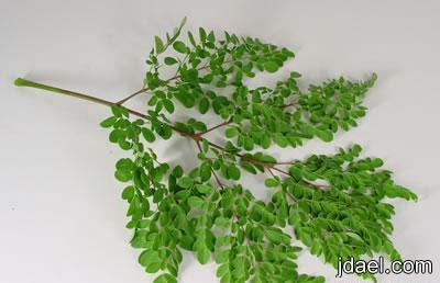فوائد عشبة غصن البان في ارتفاع الضغط وعلاج 300 مرض من عشبة المورينجا منتدى جدايل
