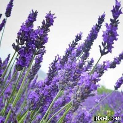 فوائد الافندر استخدام نبات الافندر علاج التئام الجروح واخفاء البثور
