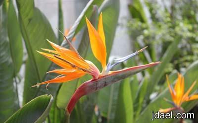 صور زهرة عصفور الجنه تعرفي على كيفية زراعة زهور عصفور