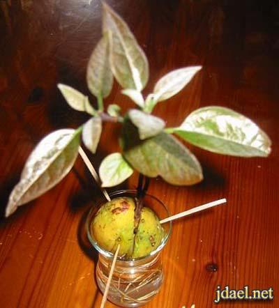 خطوات زراعة بذرة الافوكادو البيت بالصور