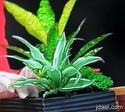 طرق نقل النباتات الطبيعيه اصيص البورسلان بطريقه صحيحه وبيدك