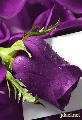 اجمل صور الورد بالوان روعة رومنسية الورد الاحمر والموف