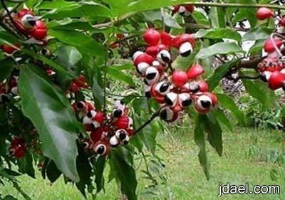 صور نبات غريب يعرف باسم الغورانا الكاكاو البرازيلي
