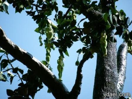 صور اغرب الثمار للاشجار ثمار بشكل البنات صور غريبه