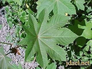 معلومات نبات الخروع وفوائده