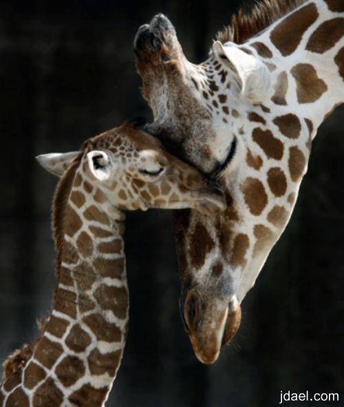 صور غريبه لغة الحنان للحيوانات احاسيس بالصور عالم الحيوان