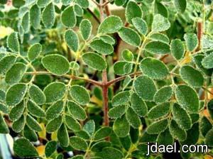 فوائد عشبة غصن البان ارتفاع الضغط وعلاج 300 مرض عشبة